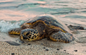 Singer Island Sea Turtle